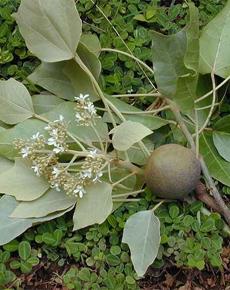 Kukui Nut Tree